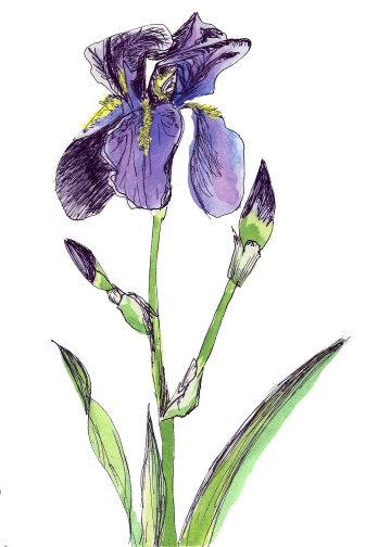 Iris from my garden, ink and watercolor, 2015