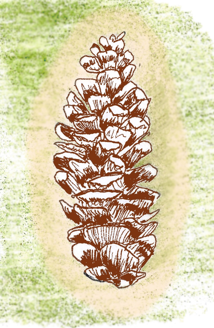 Powderhorn Park Pinecone, hand drawing and digital, 2016